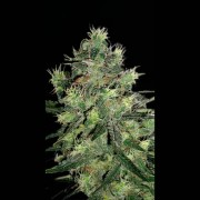 AK Automatic Feminised Seeds
