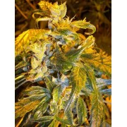 Annapurna SuperAuto Feminised Seeds - 3