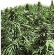 Automatic Northern Hog Feminised Seeds
