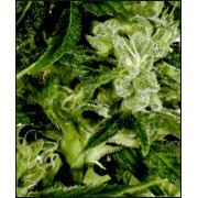 Auto-Bomb Feminised Seeds