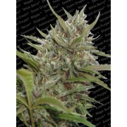 Auto Whiteberry Autoflowering Feminised Seeds