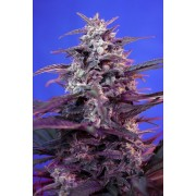Bloody Skunk AUTO Feminised Seeds