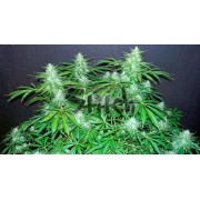 Bubble Hash SuperAuto Feminised Seeds - 3