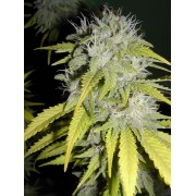 Chaze SuperAuto Feminised Seeds - 3