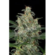FREE SEEDS from Dinafem - Cheese Auto - Freebie worth €7