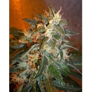 Cobra Autoflowering Regular Seeds - 8