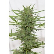 Dedoverde Haze AUTO Feminised Seeds