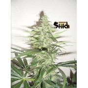 Diesel Haze Autoflowering Feminised Seeds - 3