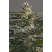 FREE SEEDS from Dinafem - OG Kush Auto - Freebie worth €7