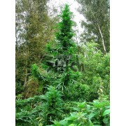 Doctor Shiva SuperAuto Feminised Seeds - 3