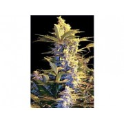 Easy Ryder Autoflowering Feminised Seeds