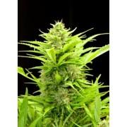 Maxi GoM Feminised Autoflowering Seeds