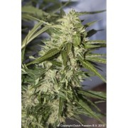 Auto Mazar Feminised Seeds