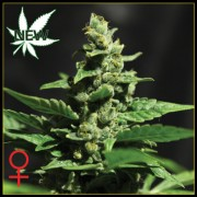 Green-O-Matic Feminised Seeds