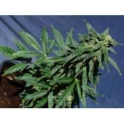 Kannabia Special Automatic Feminised Seeds