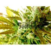 Kush Van Stitch Autoflowering Feminised Seeds - 3