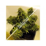 Lowryder Mix Autoflowering Regular Seeds