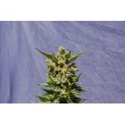 Mataro Blue Automatic Feminised Seeds