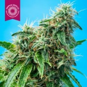 Mazarmatic AUTO Feminised Seeds - 6