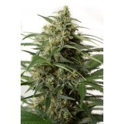 Moby Dick XXL Autoflowering Feminised Seeds