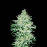 Orient Automatic Feminised Seeds