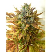 Auto Sour Diesel Haze Feminised Seeds