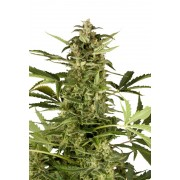 Auto Polarlight #3 Feminised Seeds
