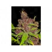 Purple Mazar Autoflowering Feminised Seeds - 3