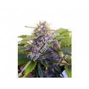 Purple Ryder Autoflowering Feminised Seeds
