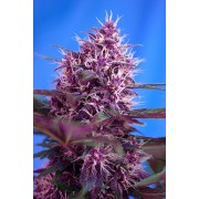 Red Poison Auto Feminised Seeds