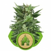 Royal Kush Automatic Feminised Seeds