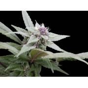 Royal Bluematic Automatic Feminised Seeds