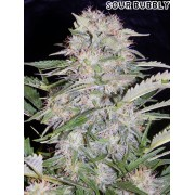 Auto Sour Bubbly Feminised Seeds