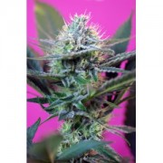 Speed + Auto Feminised Seeds