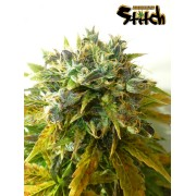 Stardust Autoflowering Regular Seeds - 8