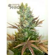 Stitch's Love Potion Autoflowering Feminised Seeds - 3