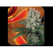 Syrup Auto Feminised Seeds