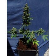 Thai Fantasy Automatic Feminised Seeds