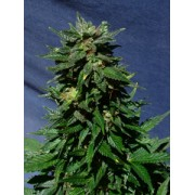 White Domina Automatic Feminised Seeds