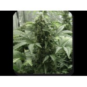 White Dwarf Auto Feminised Seeds