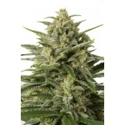 White Widow XXL Autoflowering Feminised Seeds